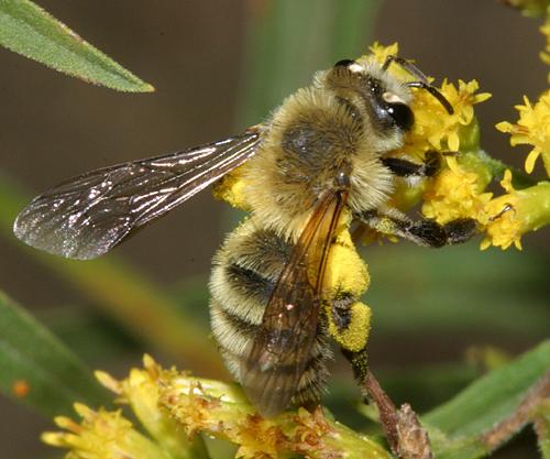Solitary bee - Andrena hirticincta - female