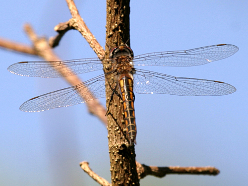 Florida Baskettail - Epitheca stella