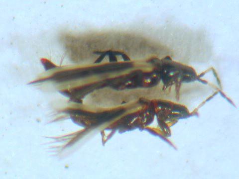 Thrips - Aeolothrips kuwanaii - male - female