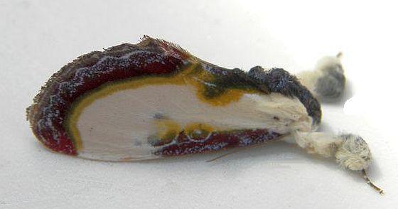 Pennsylvania Moth - Eudryas grata