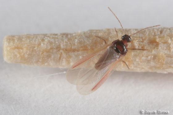 scale - Eulecanium kunoense - male