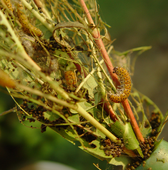 Dogbane Moth, larvae - Saucrobotys futilalis
