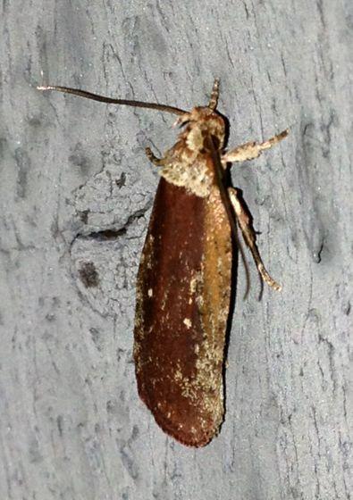 Agonopterix lythrella - Hodges#0857 - Agonopterix walsinghamella