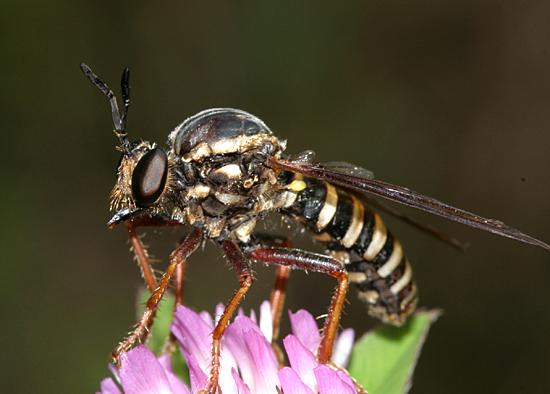 Wasp mimic Robber Fly - Ceraturgus fasciatus