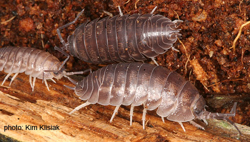 Unknown Sowbug/Isopod - Cylisticus convexus