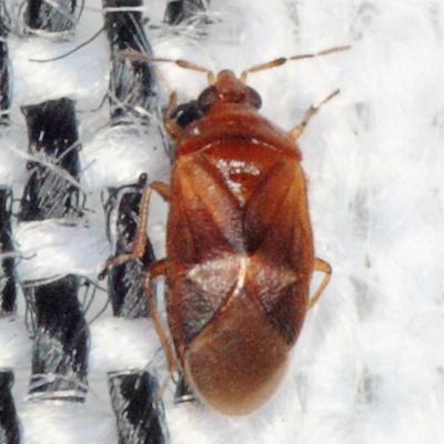 Minute Pirate Bug - Cardiastethus