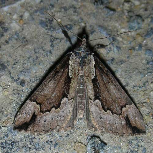 Moth 5 - Hypena baltimoralis