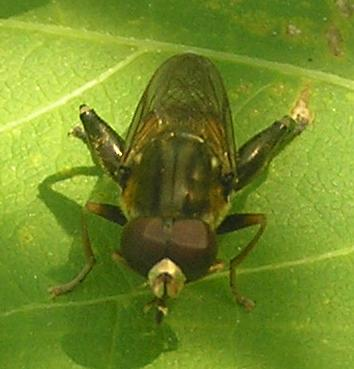 Large Hoverfly.... - Tropidia quadrata