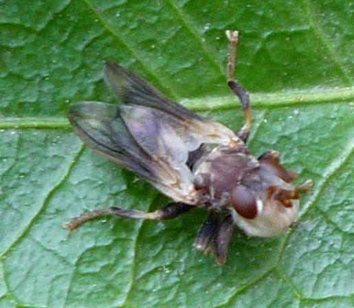 fly sp? - Myopa
