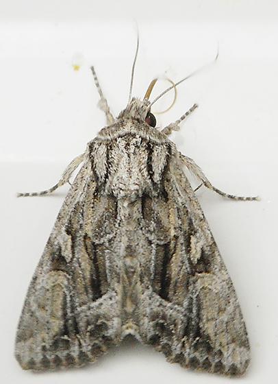 Moth - Apamea spaldingi