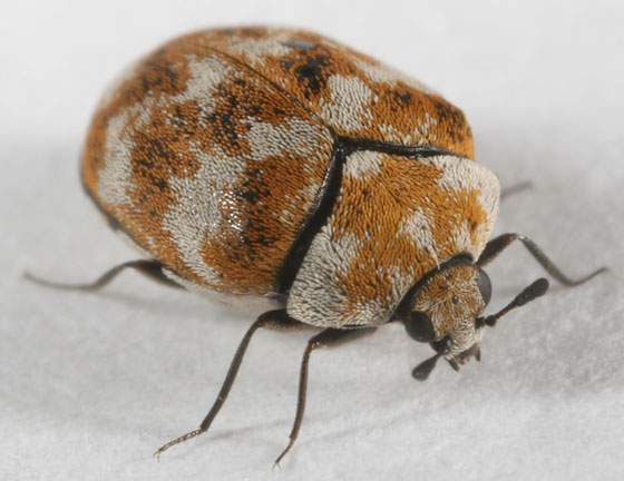 carpet beetle life - Anthrenus verbasci