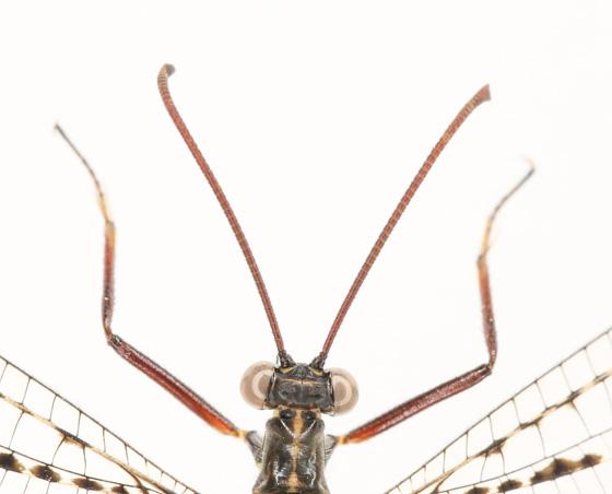 Non-dragonfly - Glenurus gratus
