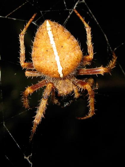 Orb weaver - Eriophora edax