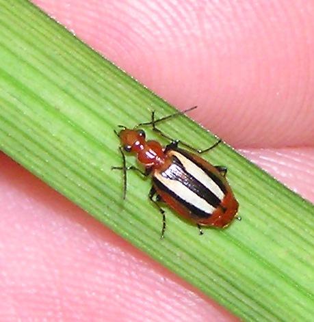 Ground Beetle - Lebia vittata