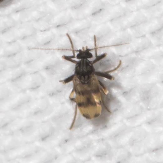 Tan-winged midge - Corethrella - female