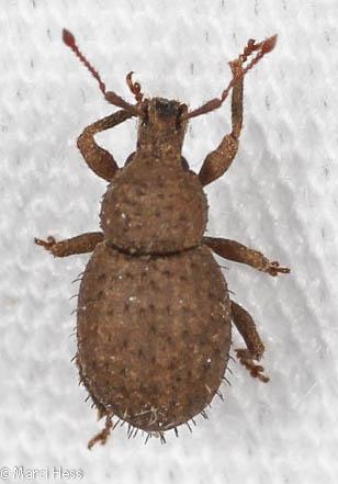 Sciaphilus asperatus - Phyxelis rigidus