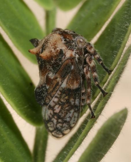 hopper 78 - Tylocentrus quadricornis