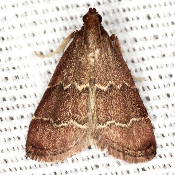 Pyralid Moth - Hodges #5574 - Heliades mulleolella