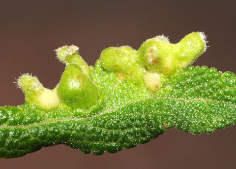 Galls on Black Sage - Rhopalomyia audibertiae