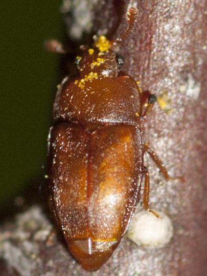 Sap-feeding Beetle - Epuraea pallescens