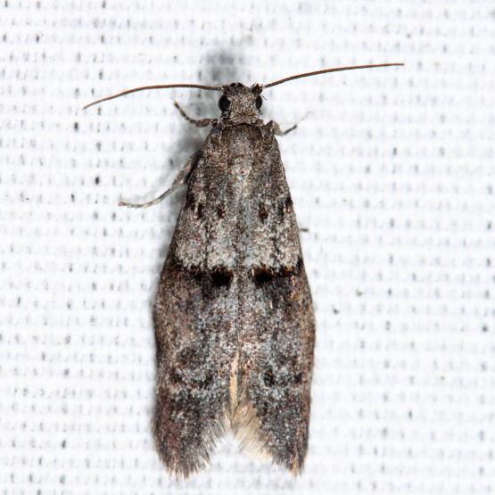 small moth - Wockia asperipunctella