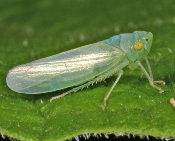 Leafhopper IMG_9298 - Pagaronia minor