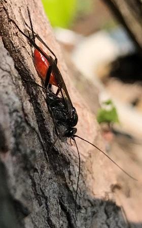 wasp - Cryptus albitarsis