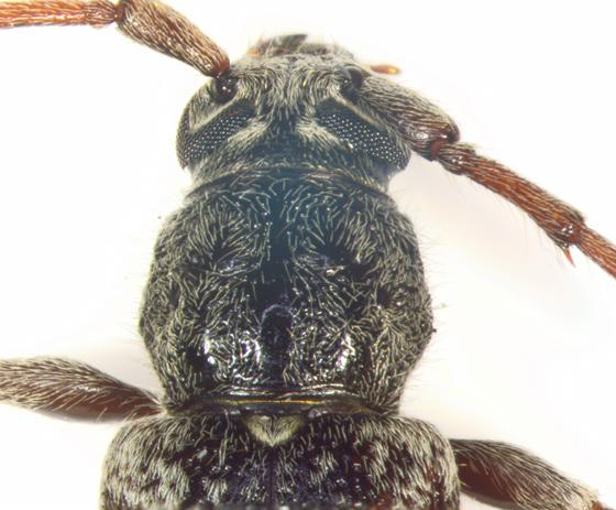 Cerambycidae, pronotum - Parelaphidion aspersum