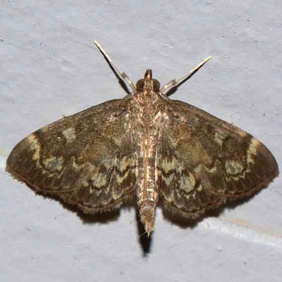 Given Range - Anania plectilis? - Anania plectilis