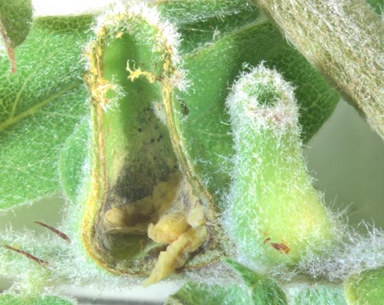 Cecidomyiidae, gall on Lead plant, cut open - Rhopalomyia undescribed-species-on-amorpha