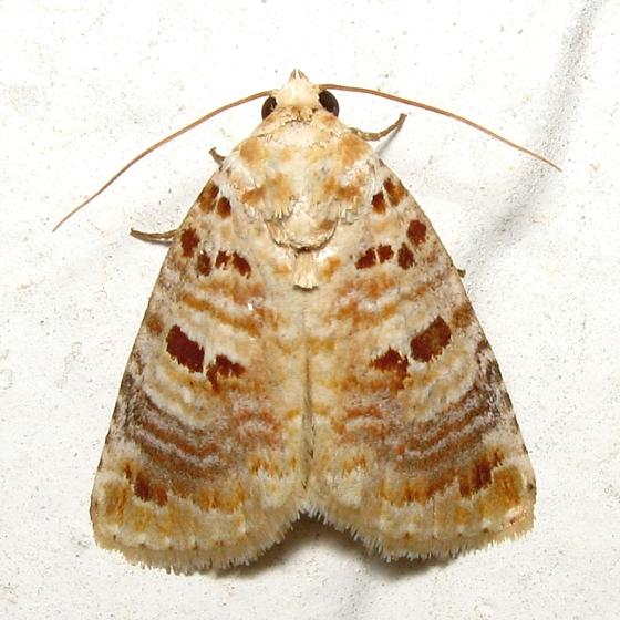 Lantana Moth - Hodges #9067 - Diastema tigris