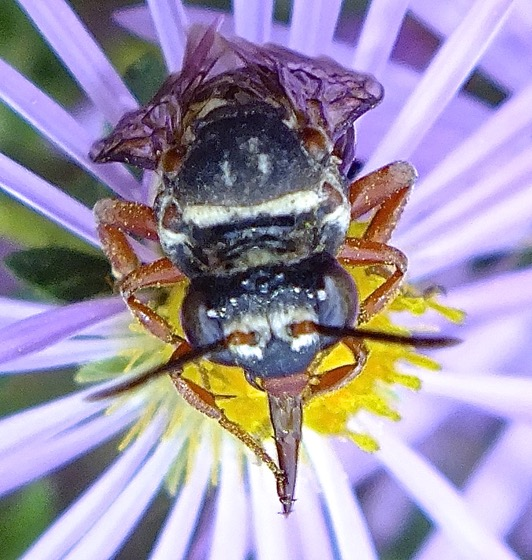 Cuckoo Bee - Triepeolus lunatus - female