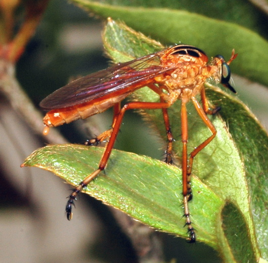 Robber Fly - Diogmites...
