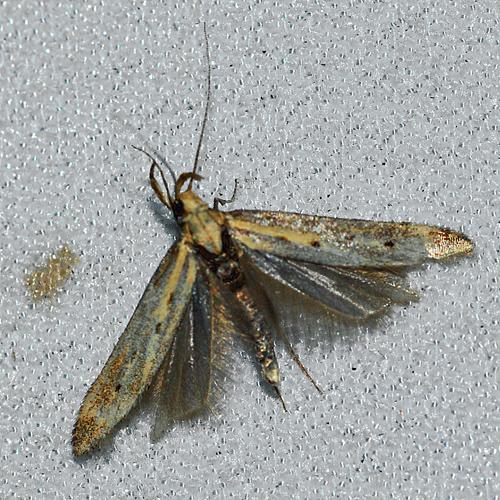 Is this the Knapweed seed head moth?  - Metzneria paucipunctella