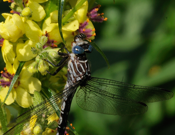 Elusive Clubtails Dragonfly Stylurus notatus Female - Stylurus notatus - female