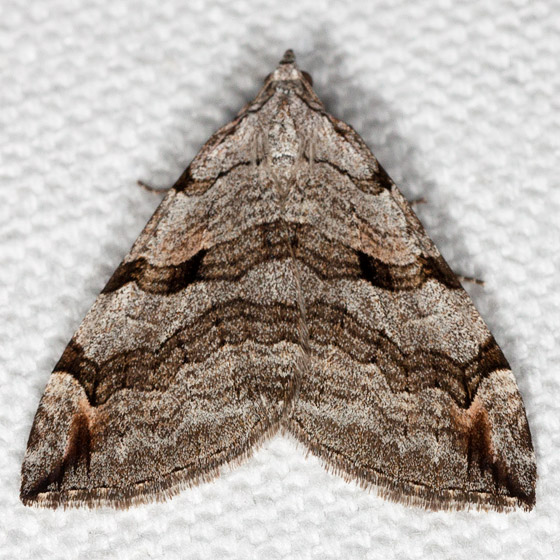 Treble-bar - Hodges#7627 - Aplocera plagiata