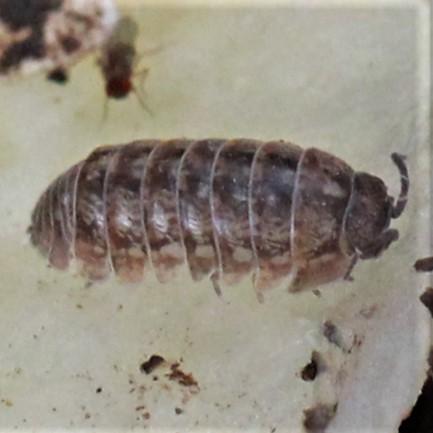 Common Pill Bug (Roly Poly) - Dorsal - Armadillidium vulgare