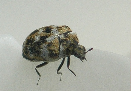 Wee Wee*vil? No, Carpet Beetle. - Anthrenus verbasci
