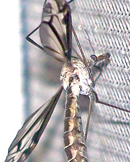 Tipulidae (Large Crane Flies)