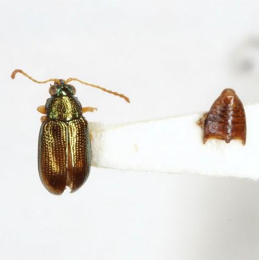 Crepidodera nana (Say) - Crepidodera nana - male