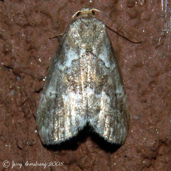 White-lined Graylet Moth - Hodges#9038 - Hyperstrotia nana