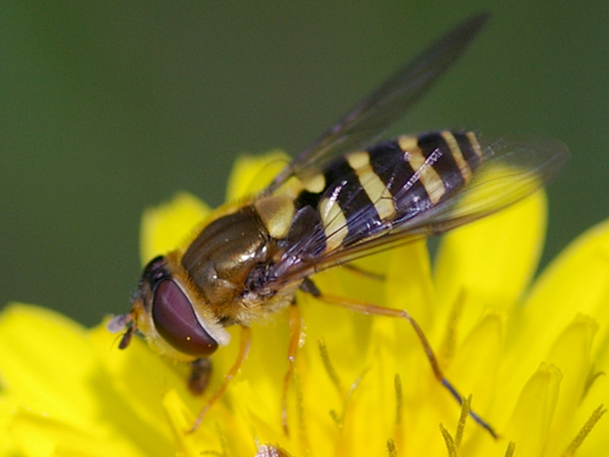 Syrphid Fly - Syrphus - female