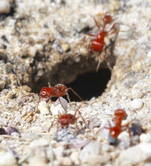 ant colony, bare desert ground - Pogonomyrmex maricopa