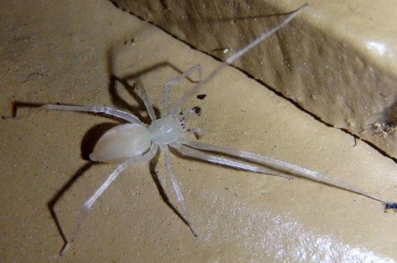 White spider - Wulfila albens