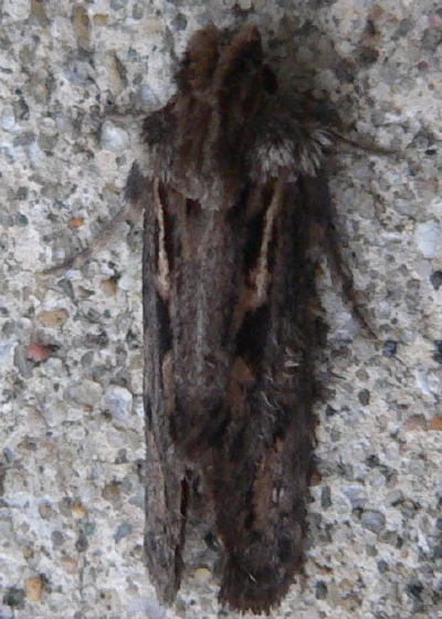 Clemens' Grass Tubeworm Moth - Acrolophus popeanella