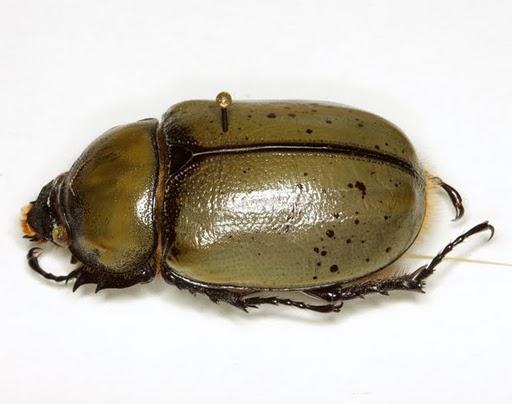 Dynastes tityus (Linnaeus) - Dynastes tityus - female