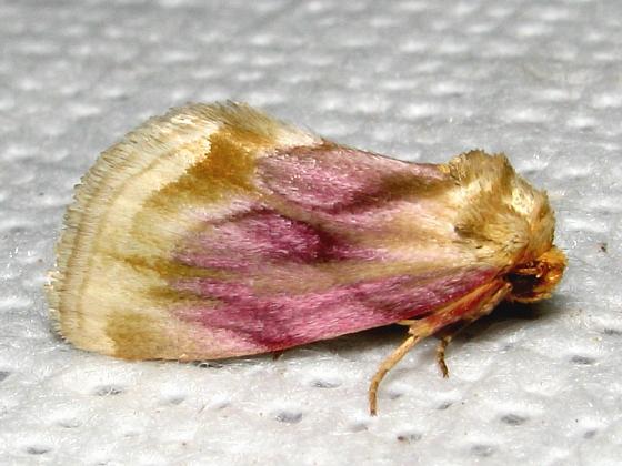 Chamaeclea basiochrea - Hodges #9790 - Chamaeclea basiochrea