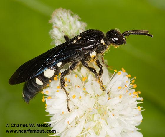 Epomidiopteron julii - female