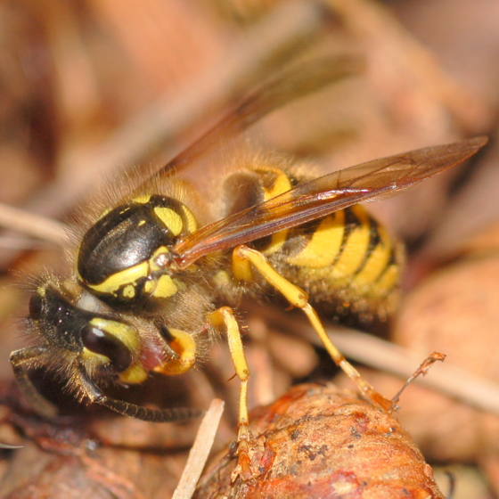 Yellowjacket attracted to squirrel remains - Vespula flavopilosa