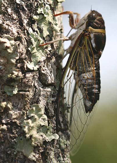 Silver-Bellied Cicada - Diceroprocta viridifascia